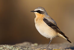 Wheatear photographed at Jaonneuse [JAO] on 6/4/2011. Photo: © steve levrier