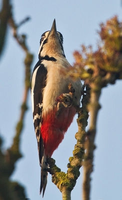 Great Spotted Woodpecker photographed at Talbot Valley [TAL] on 10/4/2011. Photo: © Chris Bale