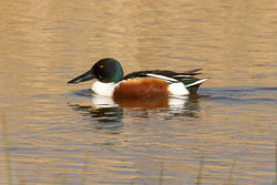 Shoveler photographed at Claire Mare [CLA] on 10/4/2011. Photo: © Rod Ferbrache