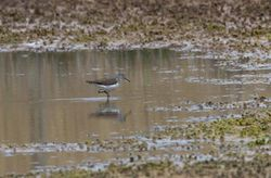 Green Sandpiper photographed at Claire Mare [CLA] on 13/4/2011. Photo: © Vic Froome