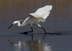 Little Egret photographed at Claire Mare [CLA] on 15/4/2011. Photo: © Vic Froome