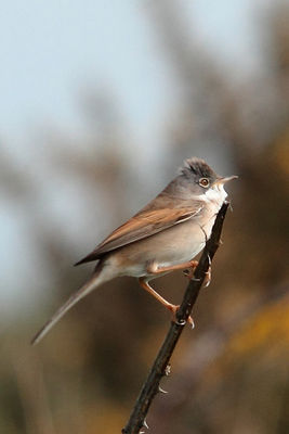 Whitethroat photographed at Pleinmont [PLE] on 16/4/2011. Photo: © Rod Ferbrache