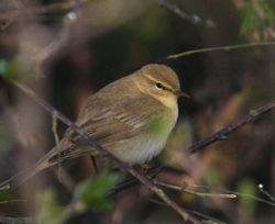 Willow Warbler photographed at La Rochelle on 15/4/2011. Photo: © Paul Bretel