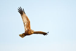 Marsh Harrier photographed at Claire Mare [CLA] on 11/4/2011. Photo: © steve levrier