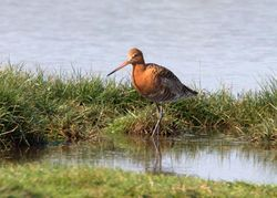Black-tailed Godwit photographed at Colin Best NR [CNR] on 20/4/2011. Photo: © Vic Froome