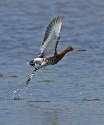 Black-tailed Godwit photographed at Colin Best NR [CNR] on 20/4/2011. Photo: © Mike Cunningham