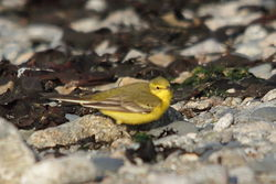 Yellow Wagtail photographed at Beach opp Claire Mare on 20/4/2011. Photo: © Rod Ferbrache