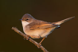 Whitethroat photographed at Pleinmont [PLE] on 21/4/2011. Photo: © Chris Bale