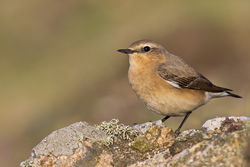 Wheatear photographed at Pleinmont [PLE] on 23/4/2011. Photo: © steve levrier