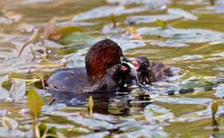 Little Grebe photographed at Reservoir [RES] on 25/4/2011. Photo: © Vic Froome