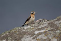 Wheatear photographed at Leree Shingle bank on 22/4/2011. Photo: © Derek Bridel