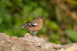 Chaffinch photographed at Select location on 24/4/2011. Photo: © Rod Ferbrache