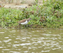 Common Sandpiper photographed at Rue des Bergers [BER] on 27/4/2011. Photo: © Adrian Gidney