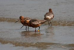 Bar-tailed Godwit photographed at Bordeaux [BOR] on 28/4/2011. Photo: © Vic Froome