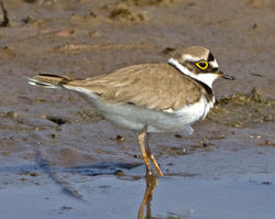 Little Ringed Plover photographed at Claire Mare [CLA] on 28/4/2011. Photo: © Mike Cunningham