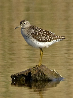 Wood Sandpiper photographed at Claire Mare [CLA] on 28/4/2011. Photo: © Mike Cunningham