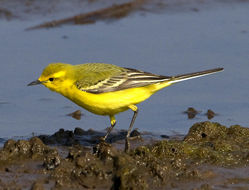 Yellow Wagtail photographed at Claire Mare [CLA] on 28/4/2011. Photo: © Mike Cunningham