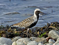 Grey Plover photographed at Shingle Bank [SHI] on 30/4/2011. Photo: © Mike Cunningham