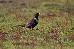 Ring Ouzel photographed at Fort Doyle [DOY] on 30/4/2011. Photo: © Vic Froome