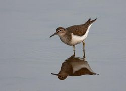 Common Sandpiper photographed at Claire Mare [CLA] on 28/4/2011. Photo: © Vic Froome