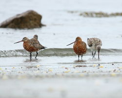 Bar-tailed Godwit photographed at L\'Eree [LER] on 3/5/2011. Photo: © Adrian Gidney