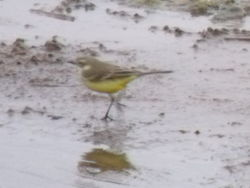 Yellow Wagtail photographed at Claire Mare on 3/5/2011. Photo: © david Spicer