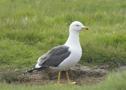 Lesser Black-backed Gull photographed at Colin Best NR [CNR] on 29/4/2011. Photo: © Royston Carr�