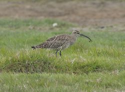 Whimbrel photographed at Colin Best NR [CNR] on 29/4/2011. Photo: © Royston Carr�