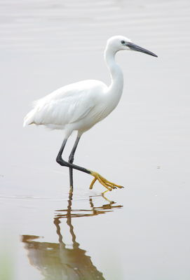 Little Egret photographed at Claire Mare [CLA] on 6/5/2011. Photo: © Adrian Gidney