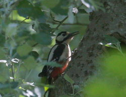 Great Spotted Woodpecker photographed at Talbot Valley [TAL] on 14/5/2011. Photo: © Paul Bretel