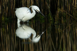 Little Egret photographed at Pulias [PUL] on 10/5/2011. Photo: © Chris Bale