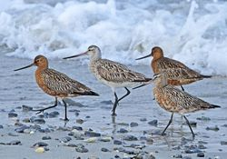 Bar-tailed Godwit photographed at L\'Eree [LER] on 4/5/2011. Photo: © Mike Cunningham