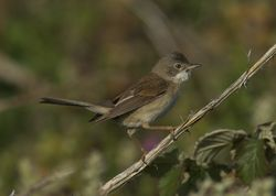 Whitethroat photographed at Pleinmont [PLE] on 1/6/2011. Photo: © Royston Carr�