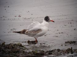 Mediterranean Gull photographed at Vazon [VAZ] on 5/6/2011. Photo: © Mark Guppy