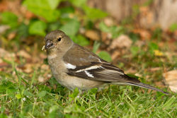 Chaffinch photographed at Bas Capelles [BAS] on 4/6/2011. Photo: © Rod Ferbrache
