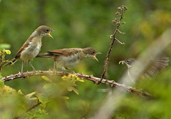 Whitethroat photographed at Pleinmont [PLE] on 13/6/2011. Photo: © Mike Cunningham