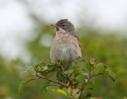 Whitethroat photographed at Pleinmont [PLE] on 13/6/2011. Photo: © Adrian Gidney