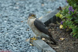 Sparrowhawk photographed at Rocquaine [ROC] on 17/6/2011. Photo: © Steve and Hilary Wild