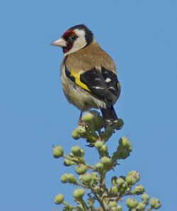 Goldfinch photographed at Colin Best NR [CNR] on 23/6/2011. Photo: © Royston Carr�