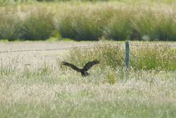 Marsh Harrier photographed at Colin Best NR [CNR] on 23/6/2011. Photo: © Royston Carr�