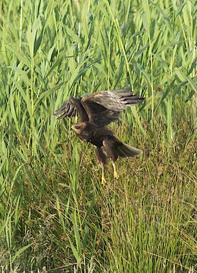Marsh Harrier photographed at Colin Best NR [CNR] on 25/6/2011. Photo: © Royston Carr�