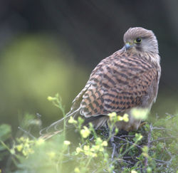Kestrel photographed at Chouet [CHO] on 20/6/2011. Photo: © Paul Bretel