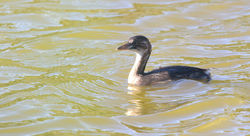Little Grebe photographed at Grands Marais/Pre [PRE] on 25/6/2011. Photo: © Paul Bretel
