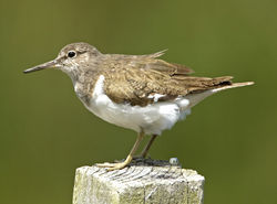 Common Sandpiper photographed at Rue des Bergers [BER] on 11/7/2011. Photo: © Mike Cunningham