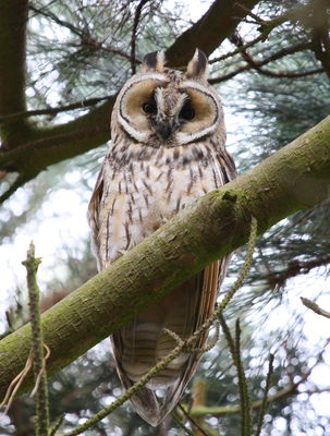 Long-eared Owl. Photo: © Adrian Gidney