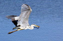 Grey Heron photographed at Vale Pond [VAL] on 14/7/2011. Photo: © Anthony Loaring