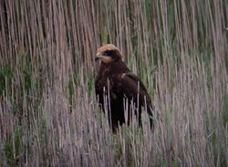 Marsh Harrier photographed at Claire Mare [CLA] on 18/7/2011. Photo: © Mark Guppy