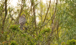 Sparrowhawk photographed at Rue des Bergers [BER] on 19/7/2011. Photo: © Anthony Loaring