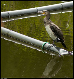 Cormorant photographed at Reservoir [RES] on 24/7/2011. Photo: © Niall Broome