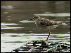 Wood Sandpiper photographed at Reservoir [RES] on 24/7/2011. Photo: © Niall Broome